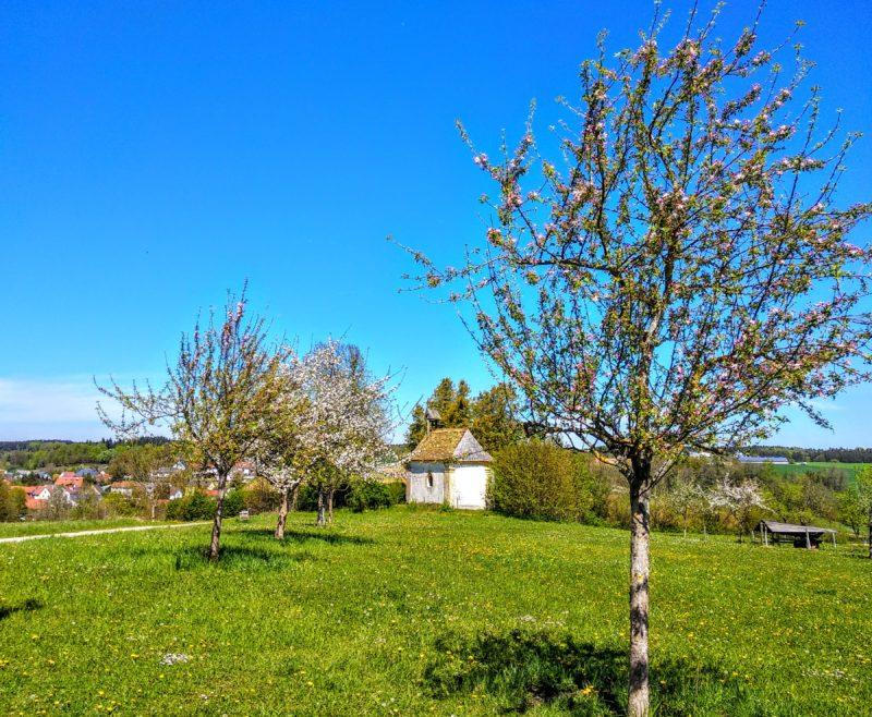 Ein Apfelbaum zu Beginn der Blüte mit rosa Knospen, dahinter eine alte Kapelle.