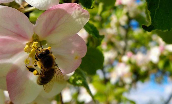 Eine Honigbiene sammelt gelben Pollen von den Staubgefässen einer Apfelblüte.